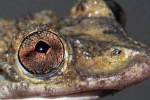 اكتشاف نوع من الضفادع تمتلك سم أقوى من الأفاعي